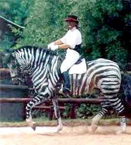 Fake Dressage Zebra