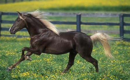 Kentucky Mountain Horse