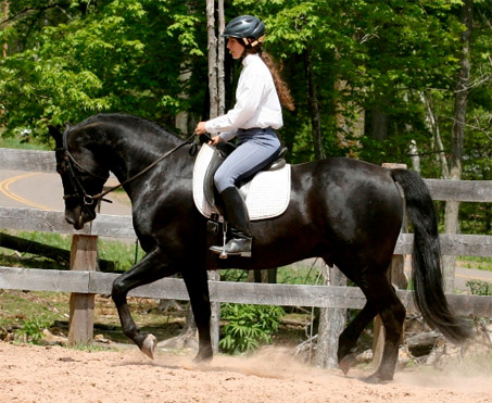 Show Horse Gallery - JMF Basic Black